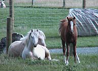 ponies on the farm